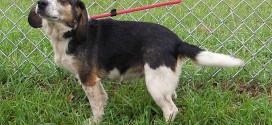 10-22-14 12321 ANNIE beagle