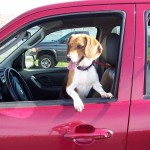 11-05-14 12357 BABY GIRL - beagle (1)