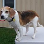 11-12-14 12359 - GABBY - Beagle