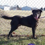 12-29-14 12435 CHANCE Lab mix