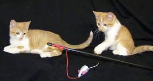 06-10-15 ABBOTT-COSTELLO kittens