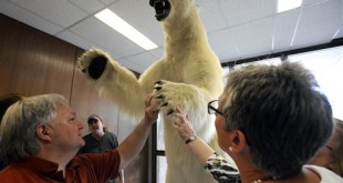 MSU staffers approve as the school's huge polar bear is lifted back into place at MSU's Natural Resources Building, Tuesday,  Sept. 1, 2015 after undergoing extensive restoration work by Dennis Harris and Jamie Outman of Artistry of Wildlife taxidermy studio in Sandusky, Mich.  The two washed, cleaned, bleached, reconstructed the mouth, nose, claws and pads and even used matching mountain goat hair to rebuild the bear.  A new base was also made, complete with the Spartan logo. (Rod Sanford/Lansing State Journal via AP)
