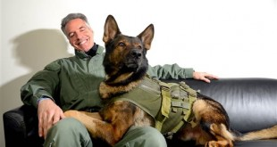 In this March 3, 2016 photo, Ike, a highly trained K-9 unit member of the Bureau of Alcohol, Tobacco, Firearms and Explosives, lies on the lap of Jeffrey Perryman, his partner, in the Lansing State Journal photo studio in Lansing, Mich., after recovering from life-saving surgery performed by MSU vets. (Dave Wasinger/Lansing State Journal via AP)